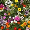 Mountain Meadows Wildflower and Native Grass Seeds