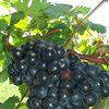 Red Dog Vineyards and Nursery