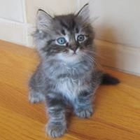 Russian Siberian Kittens