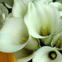 BC Farm Gladiolus & Callas Lilies