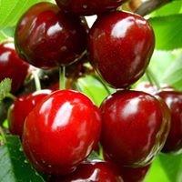 Platinum Ridge Cherries