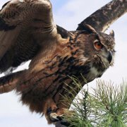 Great Horned Owl Eco Tours, Osoyoos BC