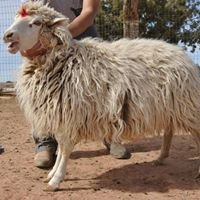 Táá Dibéi - Navajo Churro Heritage Lamb Presidium