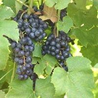 Lost Creek Vineyard