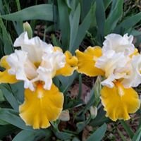 Greater Omaha Iris Society