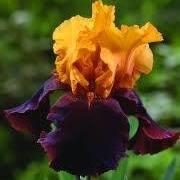 Iris Society of the Ozarks