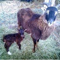 Primitive Sheep Ranch