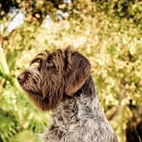 Citrine Kennels - Wirehaired Pointing Griffons
