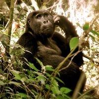 Gorilla Guardians