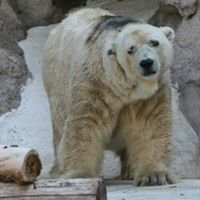 Save Arturo the Polar  Bear