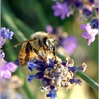 The Skull Valley Lavender Farm Page