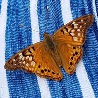 Austin Butterfly Forum