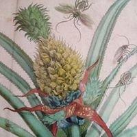 Pineapple Kensington