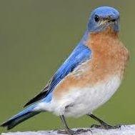 Bluebird Restoration Project