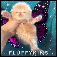 Fluffykins Persians Cattery