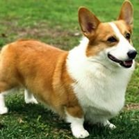 The Northern Virginia Corgi Meetup
