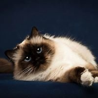 Blue Paradise Birman Cattery