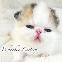 Whoohoo Cattery異國短毛貓〈加菲貓〉