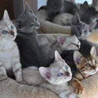 Benros PL  Hodowla kotów Bengalskich i Rosyjskich Białych