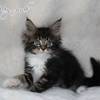 EndlessKiss Maine Coon Cattery
