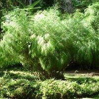 Cooran Bamboo