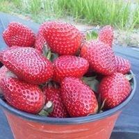 The Berry Best Texas Berries