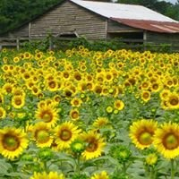 The Anderson's Sunflower Farm