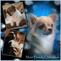 Moor Beauty Chihuahua