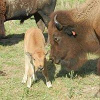 Osage Prairie Bison