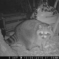 University of Wyoming Raccoon Project