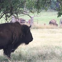 Noisy Crow Bison