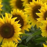 Ted Grinter's Sunflower Field -Hwy 24-40 Between Tonganoxie & Lawrence