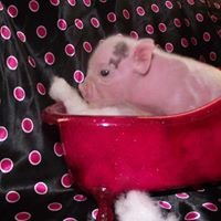 Pampered Piglets