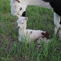Amaraday Acres Alpaca and Apiary