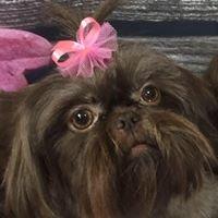 Goldilocks Pet Grooming/AKC Shih Tzu