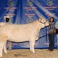 Stolte Livestock & Show Steers