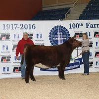 Marsch Show Cattle