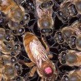 Torres Honey Bees