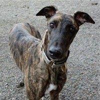 Monica's Heart Greyhound Adoption