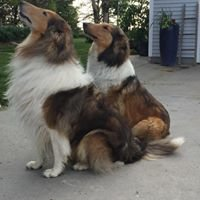 Rystrom Collies