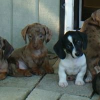 Lil's Miniature Dachshund Puppies