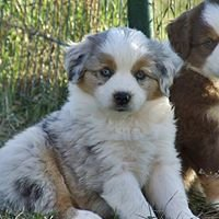 Elvenland's Miniature Australian Shepherds