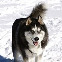 California Husky Rescue Network Inc,