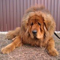 Tibetan mastiff - Demidar