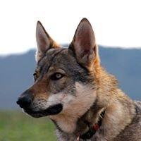 Tschechoslowakische Wolfshunde vom Dreiburgenblick