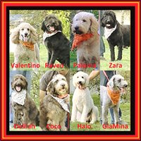 Home Raised Labradoodles / Affordable Designer Dogs