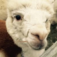 Briar Rose Alpaca Farm