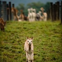 Long Acres Alpaca Farm