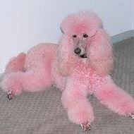 The Pink Poodle - A Pet Grooming Salon