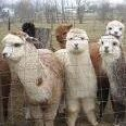 Patchwork Farm Alpacas